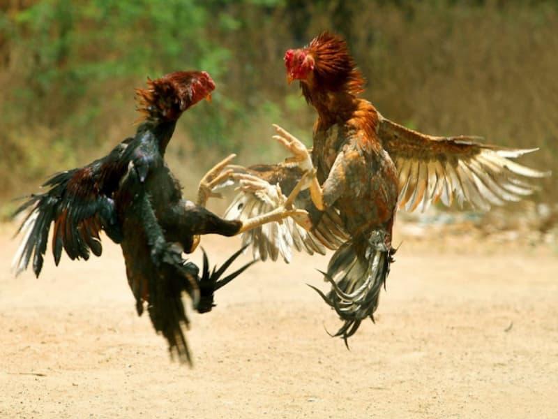 Đá gà philipines