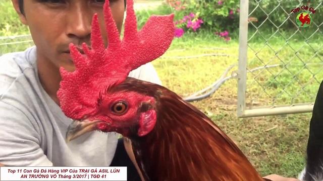 Anh em sẽ được học cách nuôi dưỡng gà chiến tốt nhất từ An Trường Võ